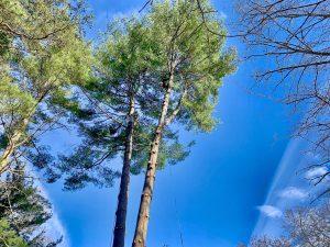 tree pruning Biltmore village